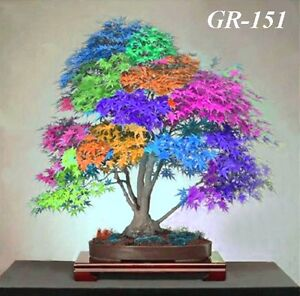 GR-151  30 GRAINES d'ÉRABLE Japonais Multicolore, Bonsai GGGG