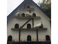 White Doves for sale..