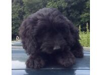 Stunning Black F1 Cockapoo Pup for Sale