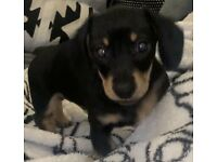 Dachshund miniature KC Male Available now 💘