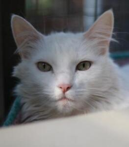 "Senior Male Cat - Domestic Long Hair: ""Glacier"""