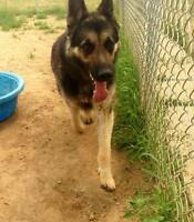 "Adult Male Dog - German Shepherd Dog: ""Diablo"""