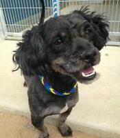 "Adult Male Dog - Shih Tzu-Terrier: ""Solomon"""