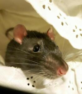 "Adult Male Small & Furry - Rat: ""Snickers"""