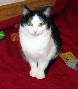 "Young Female Cat - Domestic Short Hair-black and white: ""Amber"""