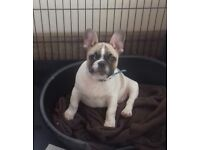 French Bulldog Puppy ( Rare & Traditional Fawn Pied)
