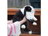 Dutch Split Miniature Lop Boy Rabbit