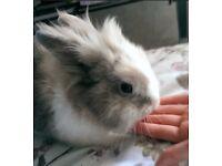 Lovely male dwarf rabbit
