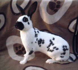 Young black and gold english spot rabbits