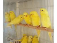 HIGH & STRONG QUALITY White & Yellow Budgies [£20 EACH] For Sale + Cages From £20