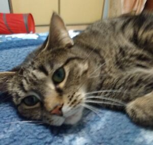 "Daisy. ""Cuddle Bug"" Companion Cat Seeking New Home"