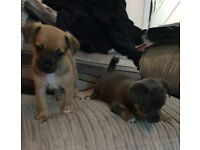 2 female jackrussell x pups