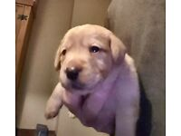 9 stunning labrador puppies for sale (mixed litter)