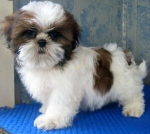 Looking for Shih Tzu