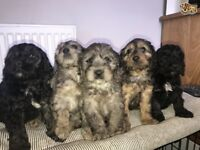 8 Quality F1 Merle Cockapoos Puppies