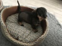 Standard Wirehaired Dachshund Puppies