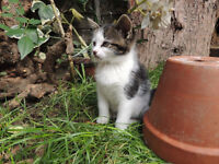 cross bengal kitten