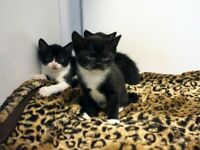 Adorable cudly black and white kittens