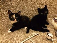 Two Gorgeous Kittens Left(can drop off)