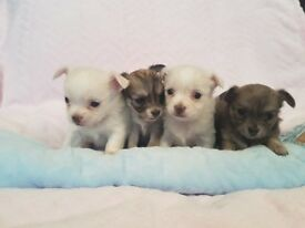Long Haired Chihuahua Pups KC Reg Ready Now