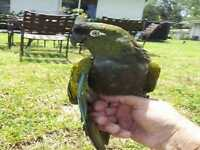 Patagonian Conure parrot for sale to right home.
