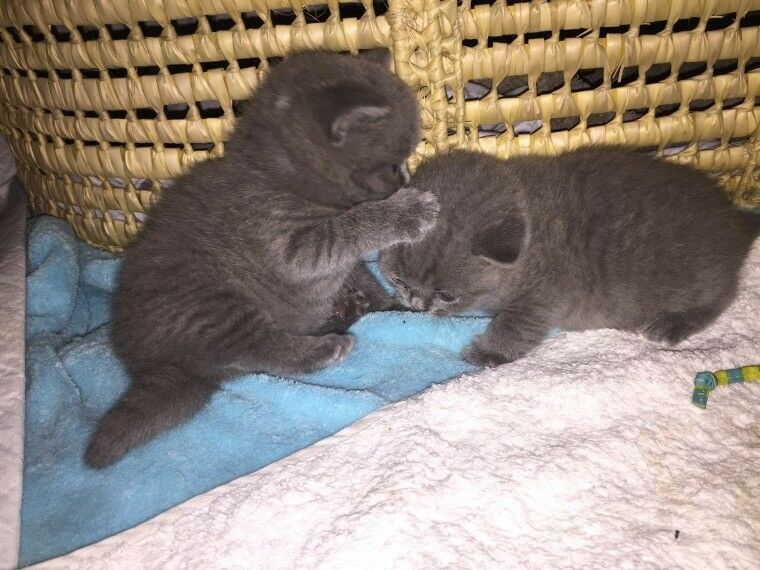 Georgeous Bsh Blue Kittens For Sale