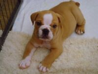 Beautiful Bulldog Puppies Excellent Pedigree.