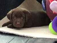 Beautiful chocolate Labrador puppies for sale,