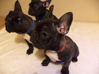 Ready Now Kc Reg French Bulldog Puppies For Sale **Only One Left**