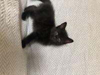 Beautiful female black kitten