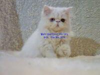 STUNNING. DIAMOND WHITE MALE PERSIAN KITTEN CHUNKY SOLID LITTLE BOY