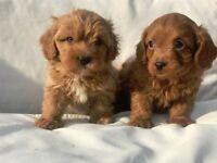 Adorable Cavapoo Puppies!!! 1 pup left