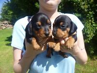 Miniature Smooth Haired Black And Tan Male Dachshunds