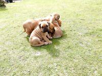 Boerboel puppies for sale