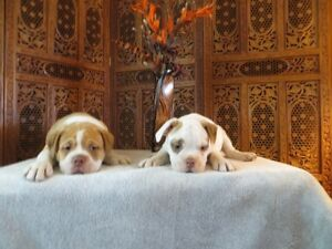 New Litter of Olde English Bulldog Puppies are available.