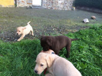 Chocolate, Black And Golden Labradors