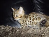 female kitten 5 month old Bengal brown rosetted
