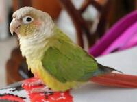 CONURE CANNELLE 3 ANS MALE