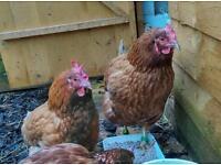 3 chickens