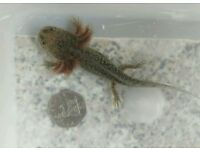 Juvenile & baby axolotls for sale, Mexican salamanders /walking fish