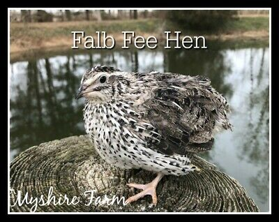 25 Rare Falb Fee Coturnix Quail Hatching Eggs By Myshire Are Feather Sexable