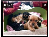 Amazing shihpom x Australian terrier puppies ready for forever homes !