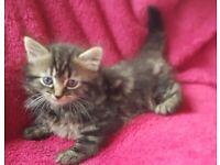 Kitten - Bengal x Maine Coon