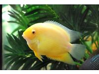 South American Cichlids for sale live tropical fish