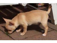 KC REG Chihuahua male puppy