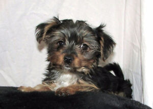 Morkie puppy from tcup yorkie sire