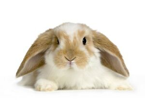 Pet sitter for rabbits