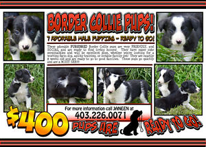 Border Collie Pups - Sire is a working farm dog