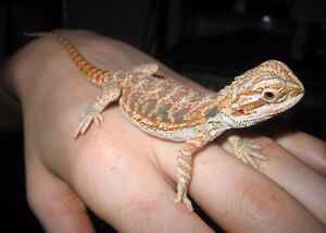Baby Red Bearded Dragons