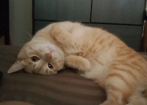 LOST CAT peach/orange and white